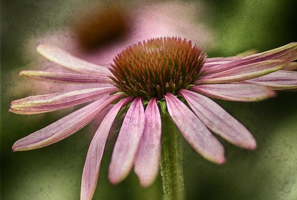 Echinacea by iangilmour