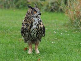 Eagle Owl Resting in-between filming !
