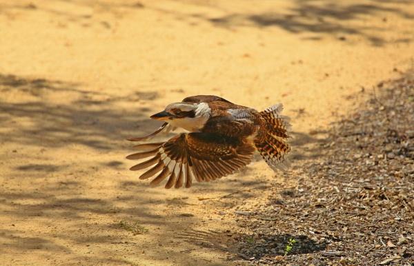 Kookaburra by DJP64