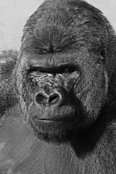 Western Lowland Gorilla by DJP64