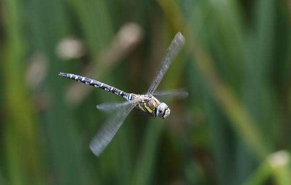 Dragonfly flying by Fatronnie