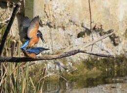 Kingfishers mating.