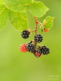 Blackberries...