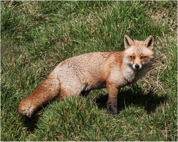 Fox by dven