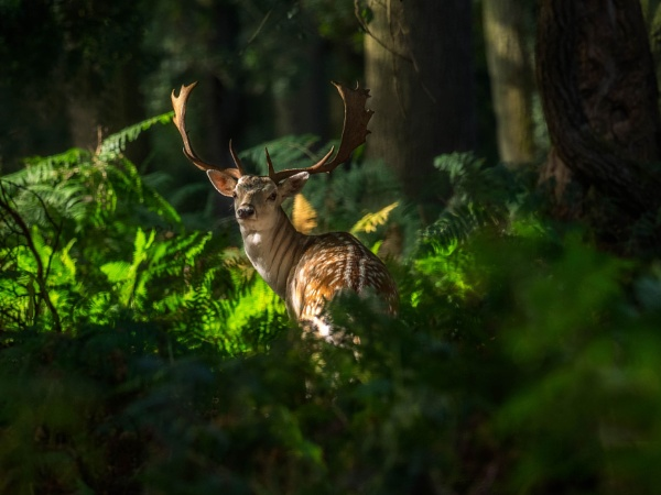 Fallow Deer by PLCimagery