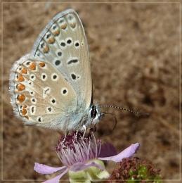nectaring blue