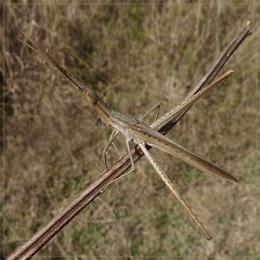 fork nosed grasshopper