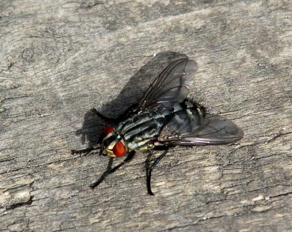 Flesh fly? by oldgreyheron