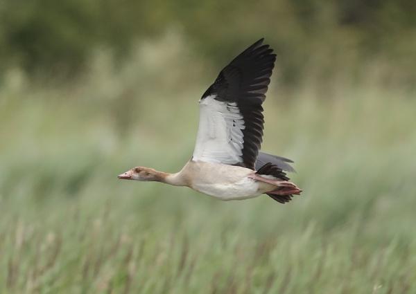 Ruddy Shelducks in Flight by NeilSchofield