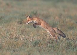 Linford Lakes Fox Hunting
