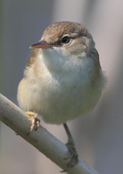 Marsh Warbler by NeilSchofield