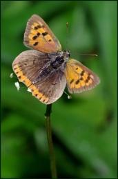 Small Copper-Lycaena phlaeas.
