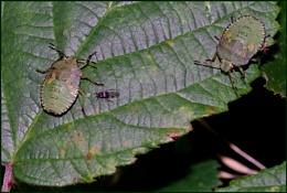 Green Shield Bugs on a Bramble Leaf.