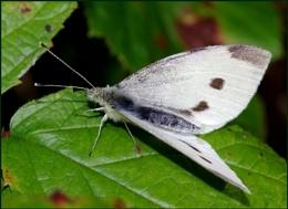 Small White-Pieris rapae.