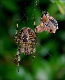 Garden Spider-Araneus diadematis.