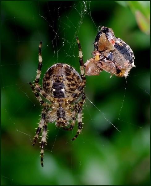 Garden Spider-Araneus diadematis. by Badgerfred