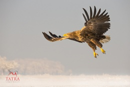 White tailed sea eagle taking off in Hungary