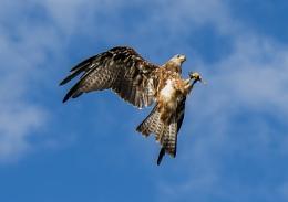 Kite catching food