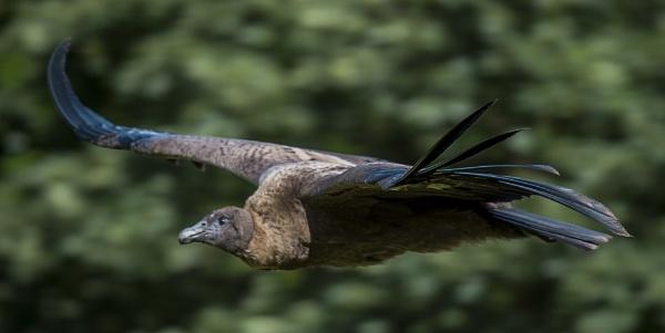 Condor by ugly