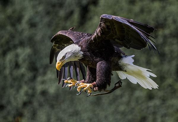 Bald Eagle by ugly