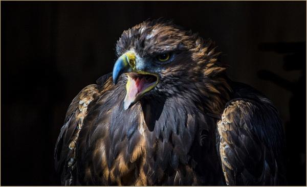 Harris Hawk by ugly