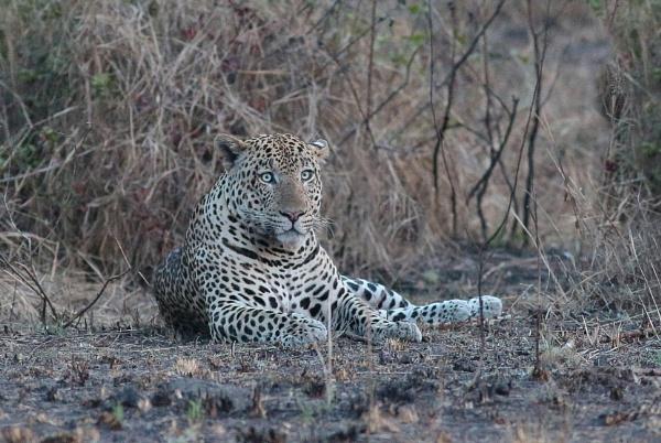 Leopard by HenB