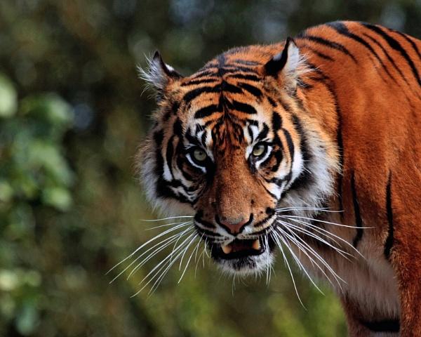 Sumatran tiger by billkouk