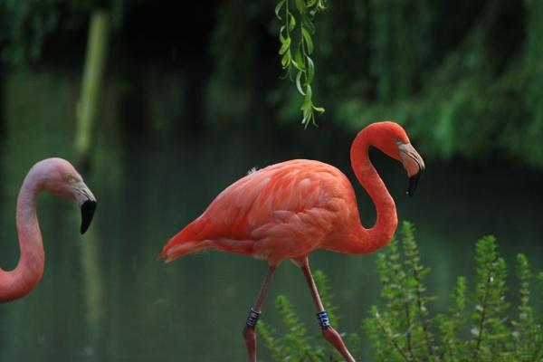 Flamingo by billkouk