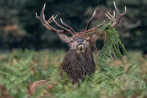 Another Deer by hasslebladuk