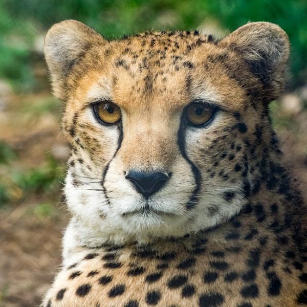 Cheetah by Alan_Baseley