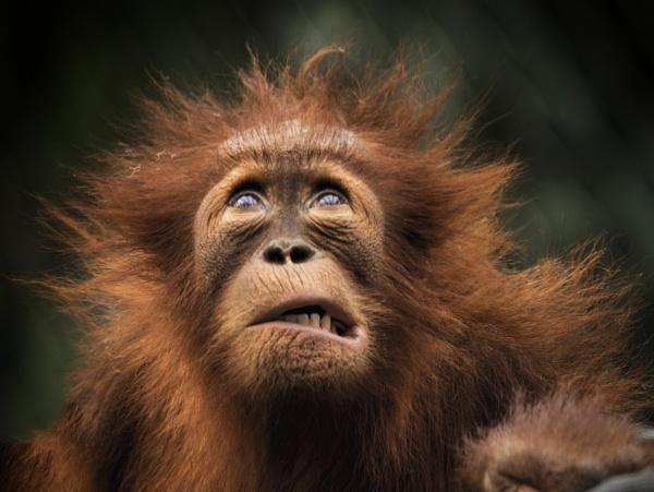 Orangutan by puma00065