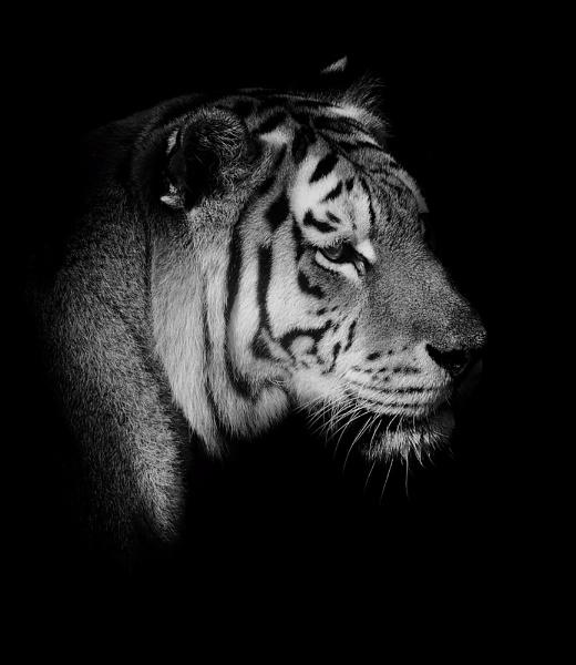 Tigress by MartinWait