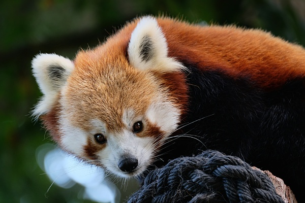 Red Panda by MartinWait