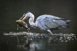 Feeding Heron 2