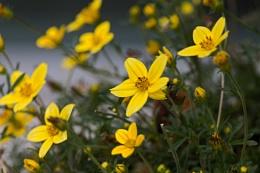 Mid-Summer Little Yellow