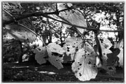 Photo : Sycamore Leaves