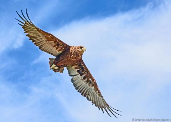 Juvenile Bateleur Eagle by brian17302