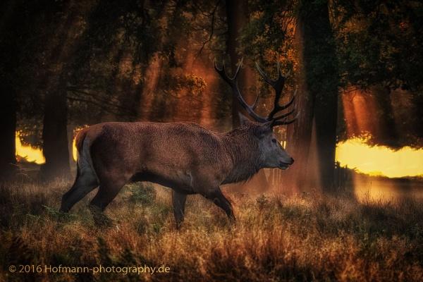 Magic light - Red deer bushy park by drbird
