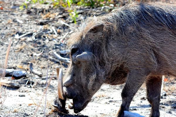 Warthog by Coen