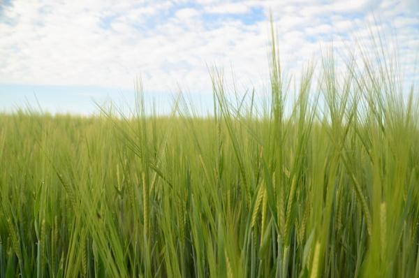 Barley by cdnikon