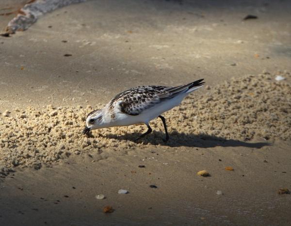 Sandpiper by GGAB