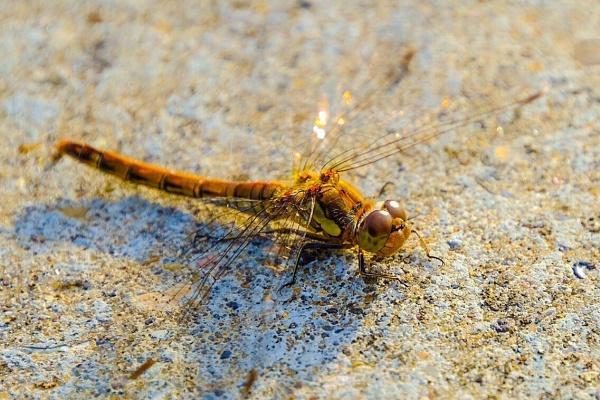 Dragonfly by Aldrin69