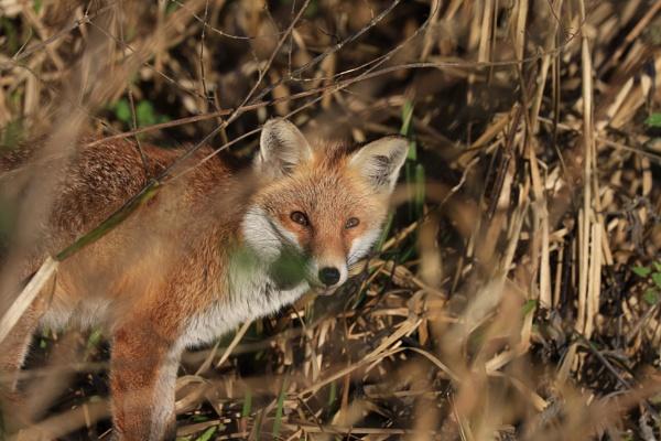 Fox 1 by Fatronnie