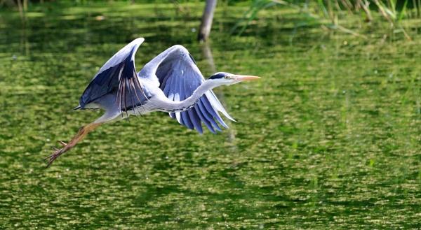 Heron by Fatronnie