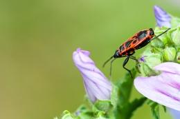 Photo : Pyrrhocoris Apterus and flower