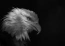 Bald Eagle by bitterr_sweett