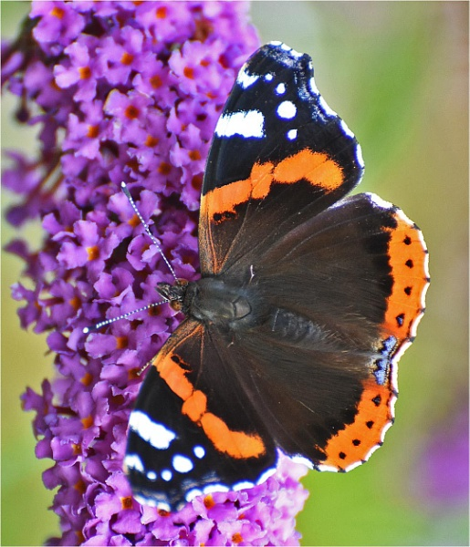 Red Admiral by MalcolmM