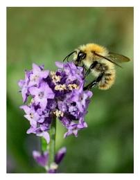 Bony Prince Bee