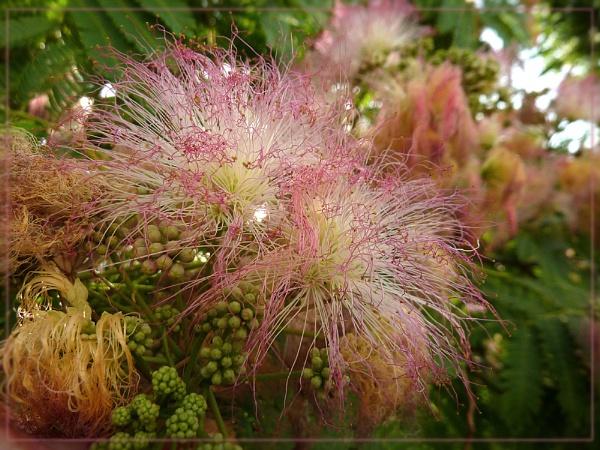 mimosa by CarolG