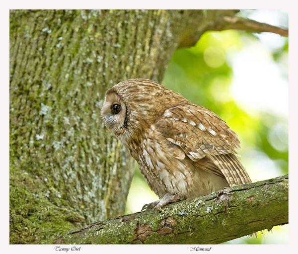 Tawny Owl by Maiwand